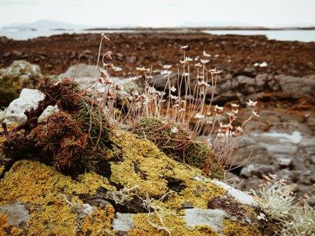 Sea Thrift and Lichen