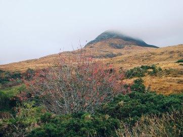 Rowan in Connemara National Park