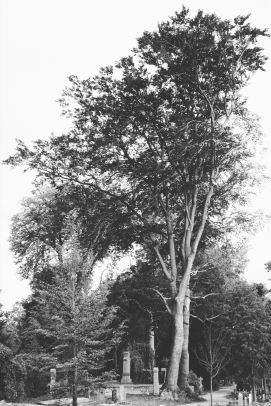 The big tree at Soestbergen cemetery
